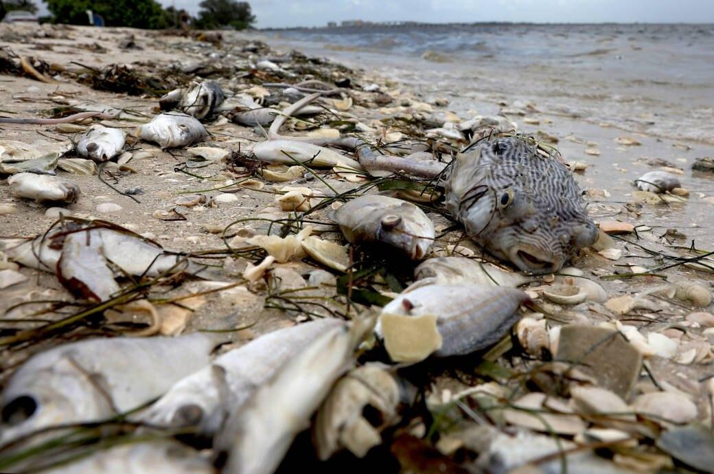 Tote Fische bei Sanibel in Florida
