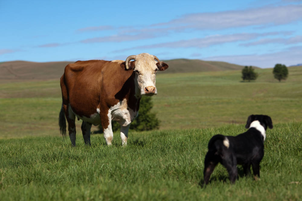 Kühe bei Wanderung