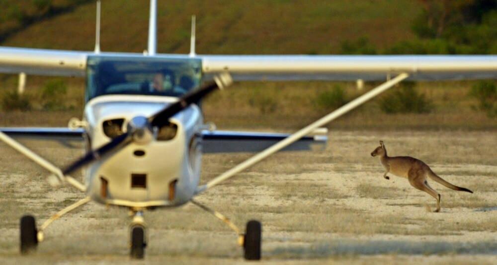 Ein Känguru an einem australischen Flughafen