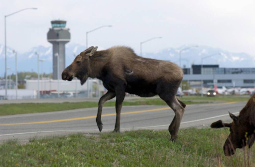 Ein Elch am Flughafen von Alaska