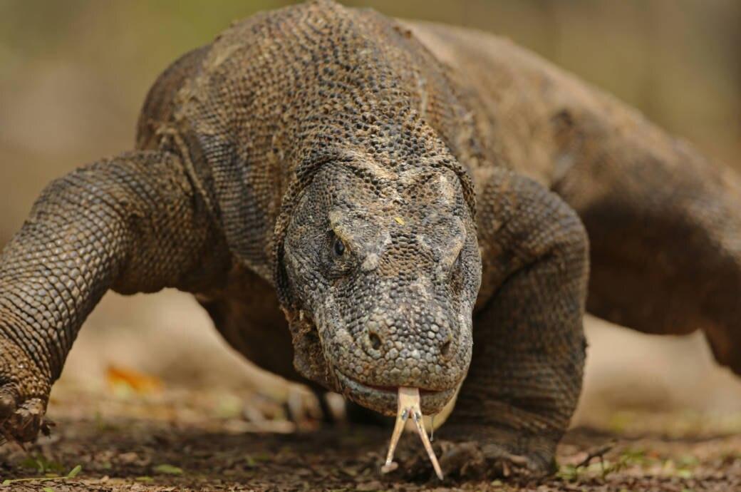 Ein Komodo Waran auf Komodo Island in Indonesien
