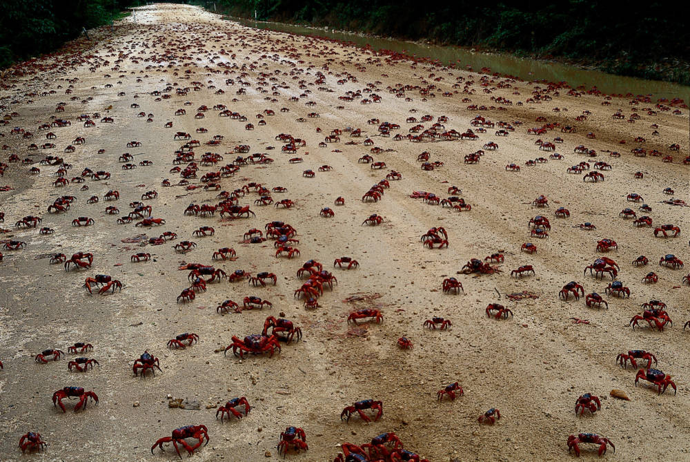 Die Krebse bei ihrer Massenwanderung auf Christmas Island