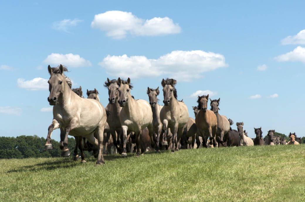 Wildpferde im Merfelder Bruch im Münsterland