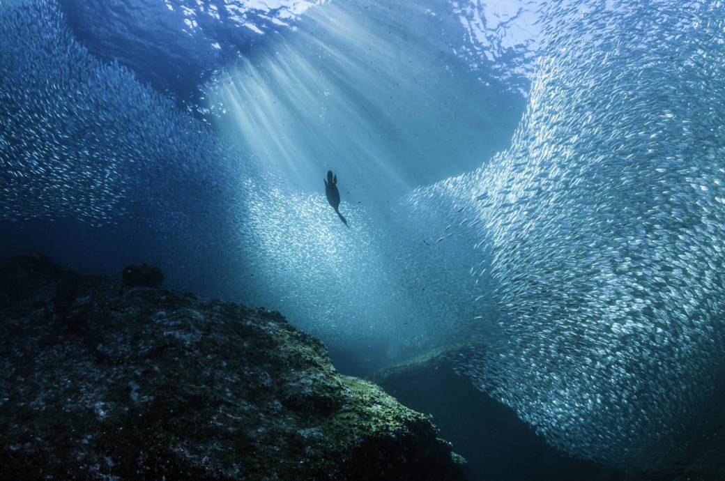 Kormoran auf der Jagd nach Fischen