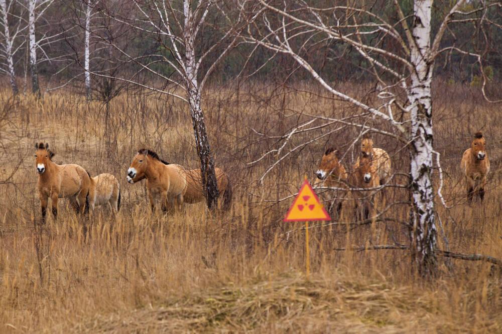 Przewalski-Pferde, Tschernobyl