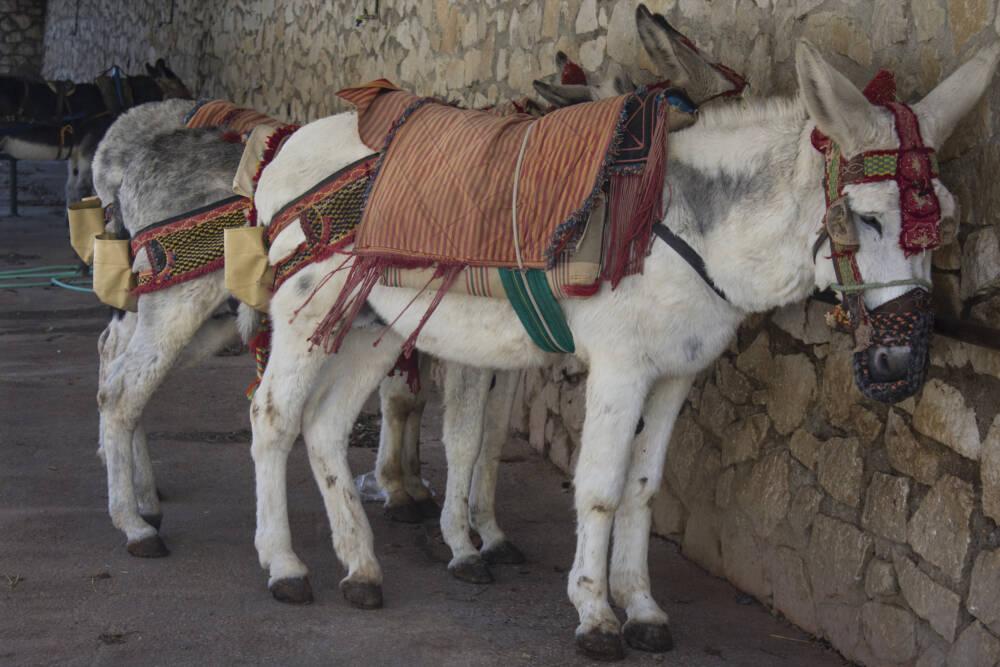 """Traurige Esel, die als """"Burro taxi"""" in Mijas dienen müssen"""