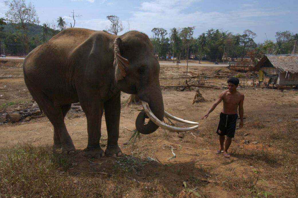 Elefanten in Thailand verhungern, weil keine Touristen kommen