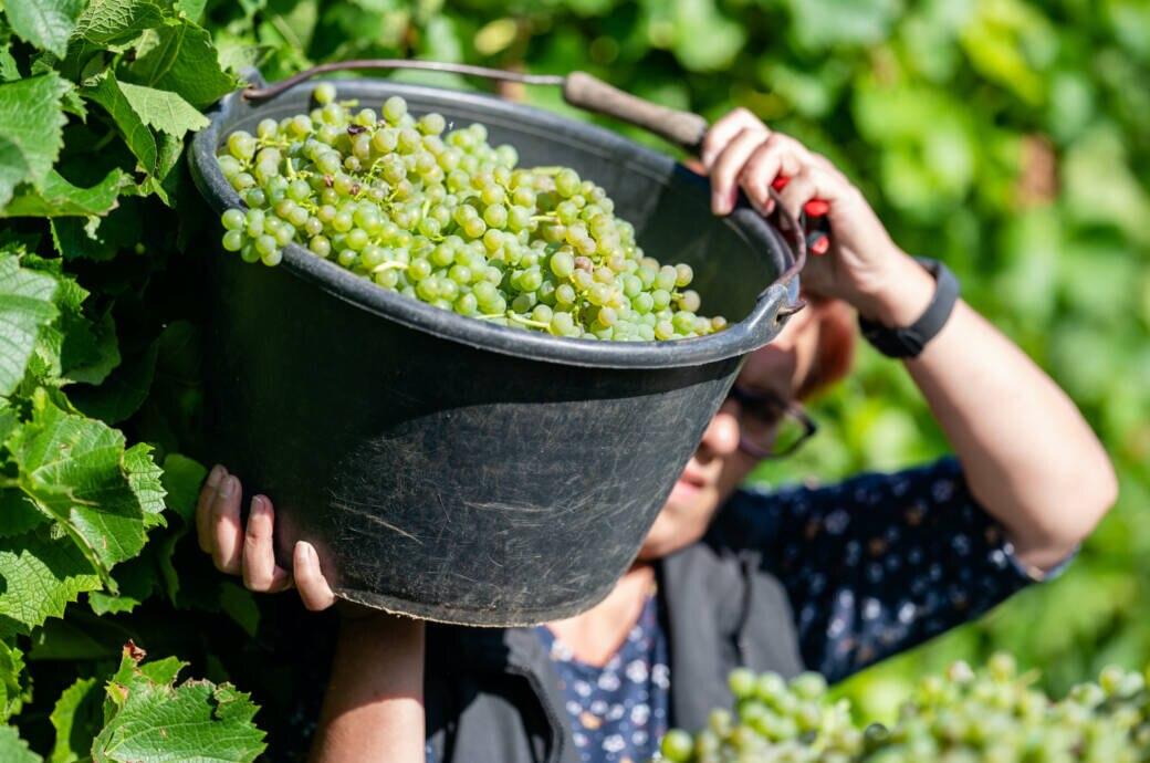 Beginn der Weinlese in der Pfalz