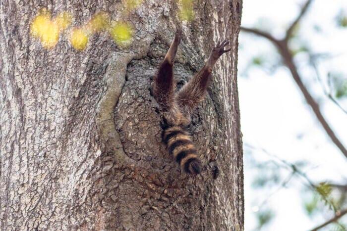 Ein Waschbär verschwindet im Baum