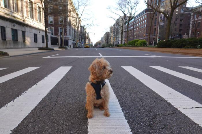 Ein Hund steht alleine auf einem Zebrastreifen