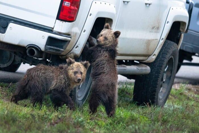 Zwei Grizzlybären an einem Autoreifen