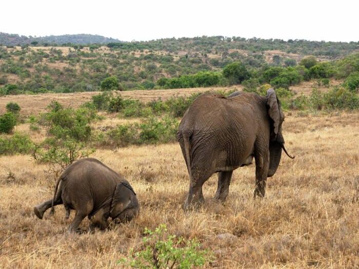 Ein Elefant macht einen Faceplant